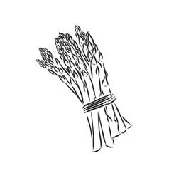 Asparagus cartoon asparagus sketch on a white vector