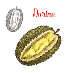 durian exotic fruit sketch icon vector image vector image