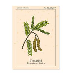 Tamarind tamarindus indica or indian date vector