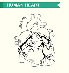 Anatomy of human heart vector image