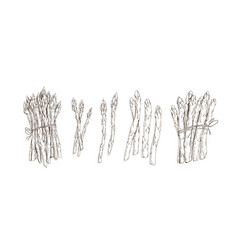set asparagus stems and bound bunches isolated vector image