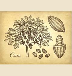 Ink sketch of cocoa vector