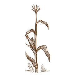 Standing stalk of corn vector