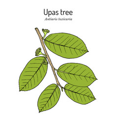 Upas tree antiaris toxicaria poisonous plant vector