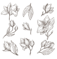 Wild blossom magnolia flower plant isolated vector