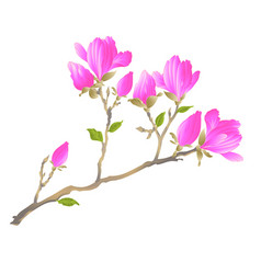 chinese magnolia blooming flowers and buds vector image