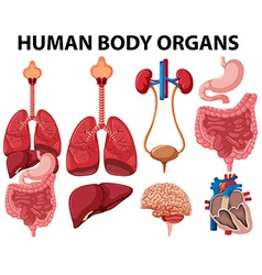 Different type of human body organs vector image vector image