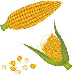 Two ears of corn with kernel corn vector