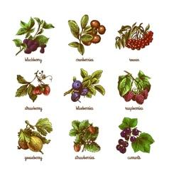 Sketch berries colored set vector image vector image