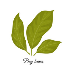 bay leaves isolated on whit vector image