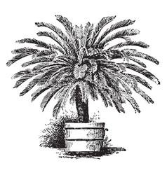 cycas revoluta vintage vector image