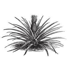 Pineapple engraving vector