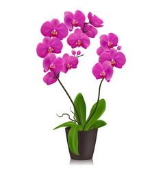 Purple orchid in flowerpot vector