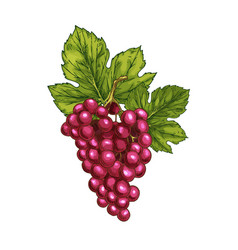 red grape sketch isolated fruit berry vector image