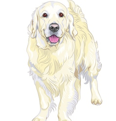 dog breed Labrador Retriever vector image vector image