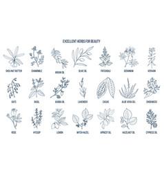 best herbs for beauty vector image