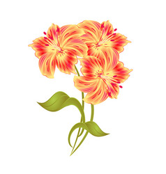 bunch orange lily alstroemeria stem flower vector image