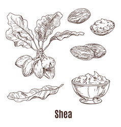 Sketches of shea nuts and butter in bowl or cup vector