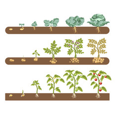 Tomato cabbage and potato plant growing vector