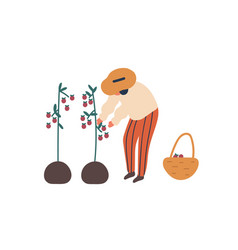 young woman collecting tomatoes flat vector image