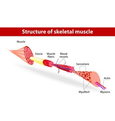 Structure of skeletal muscle vector image
