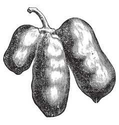 Common pawpaw engraving vector
