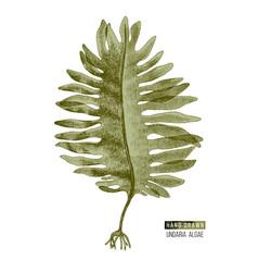 hand drawn wakame or undaria pinnatifida alga vector image