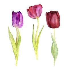 three watercolor tulips vector image