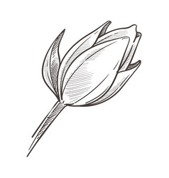 Closed bud wild magnolia flower isolated sketch vector