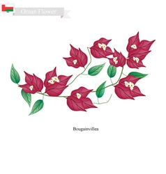 Pink Bougainvillea Flowers Native Flower of Oman vector image