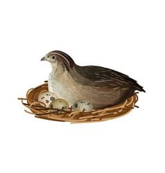 Quail at nest vector