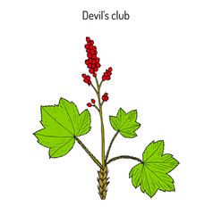 devil s club or walking stick oplopanax horridus vector image