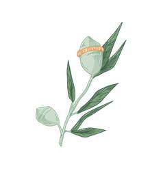 Australian eucalyptus flower with unopened buds vector