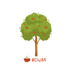 Rowan tree with red berries and name vector