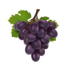 black grape 3d bunch grapes realistic fruit vector image