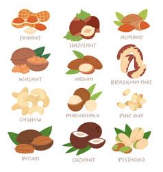 nut nutshell of hazelnut or walnut and vector image