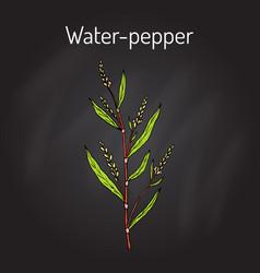 Water pepper persicaria hydropiper or smartweed vector