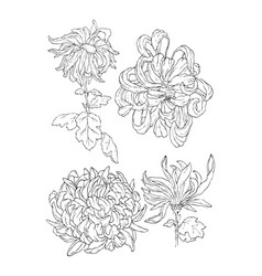 chrysantemum line art for coloring book or tattoo vector image