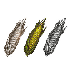 hand drawn corn food sketch vector image
