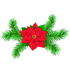 poinsetia and spruce branches vector image