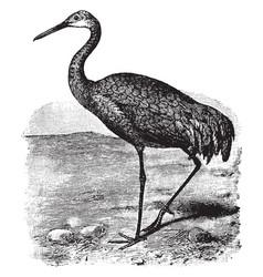 Sandhill crane vintage vector