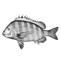 Sheepshead vintage vector