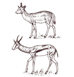 african wild antelope deer or doe duiker and vector image