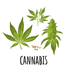 Marijuana mature plant with leaves and buds vector