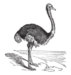 The Ostrich vector image vector image