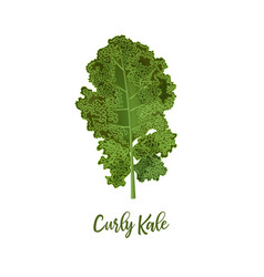 curly kale food concept fresh juicy raw close up vector image