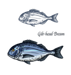 Gilt-head bream fish isolated sketch icon vector