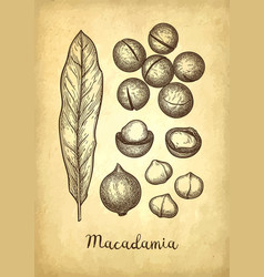 Ink sketch of macadamia vector