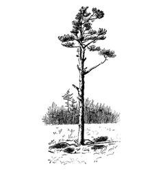 Field pine vintage vector