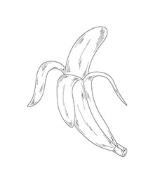 banana sketch vector image